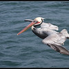 Brown Pelican, SDFO Jan 1st Pelagic Trip Pacific Ocean, San Diego County, California, January 2012