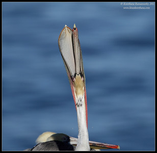 Brown Pelican stretching its neck, La Jolla Cove, San Diego County, California, December 2011
