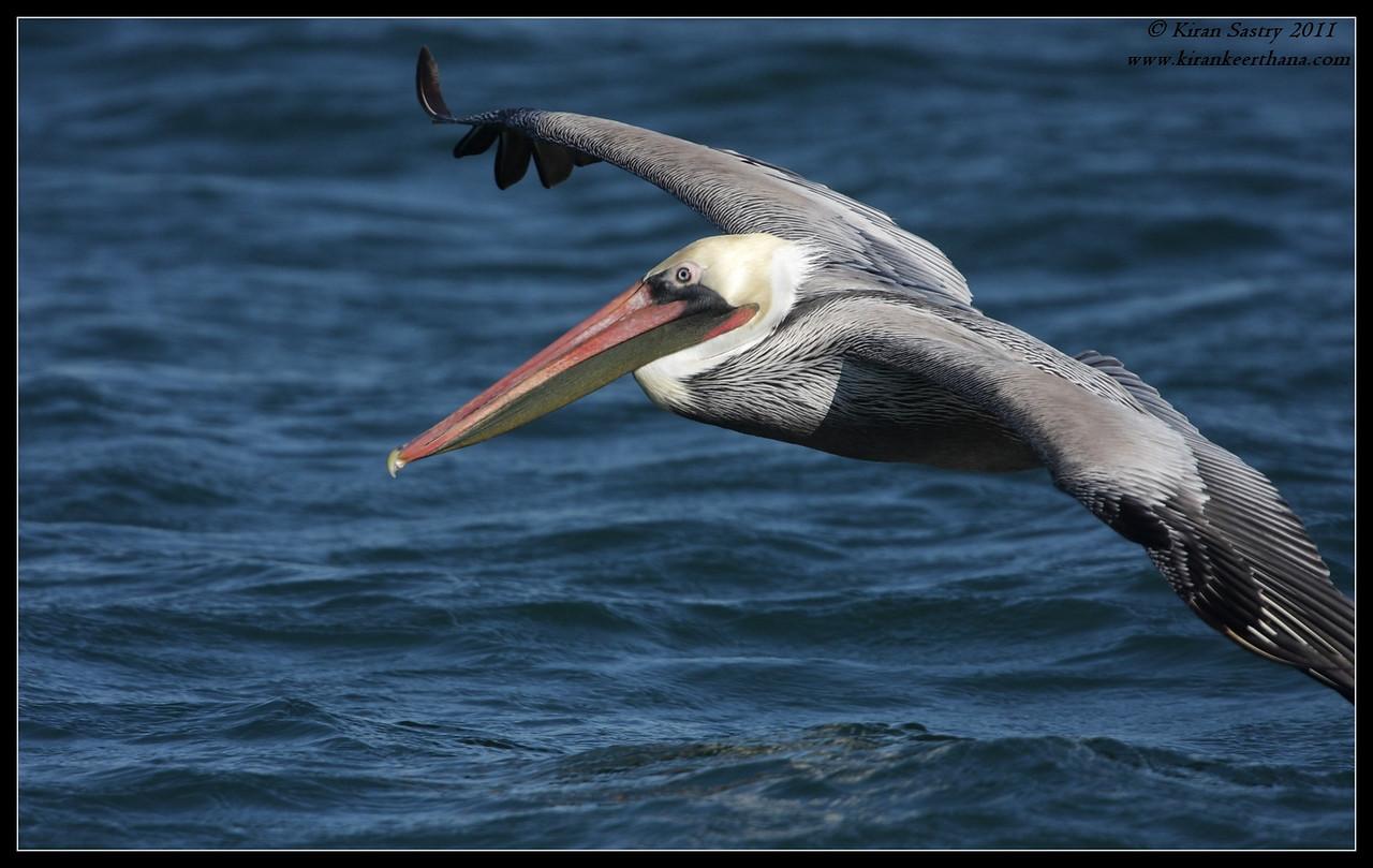 Brown Pelican landing, SDFO Jan 1st Pelagic Trip Pacific Ocean, San Diego County, California, January 2012