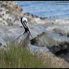 Brown Pelican portrait, La Jolla Cove, San Diego County, California, April 2012