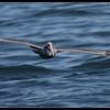 Brown Pelican, SDFO Jan 1st Pelagic Trip Pacific Ocean, San Diego County, California, January 2012