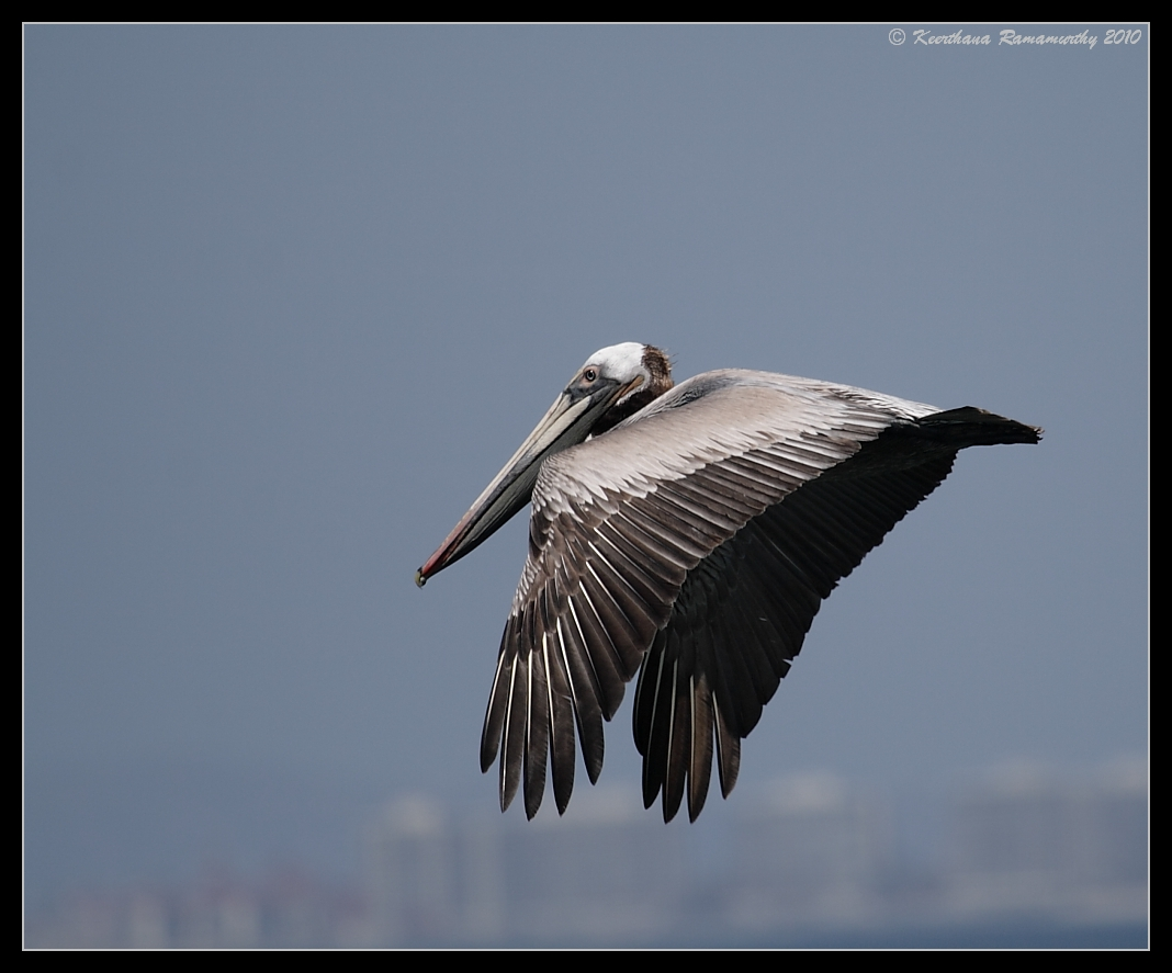 Brown Pelican soaring with the cityscape in the background, Imperial Beach Pier, San Diego County, California, April 2010
