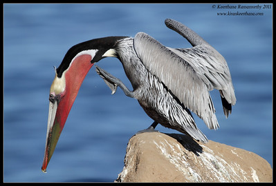 Brown Pelican in breeding plumage preening, La Jolla Cove, San Diego County, California, December 2011
