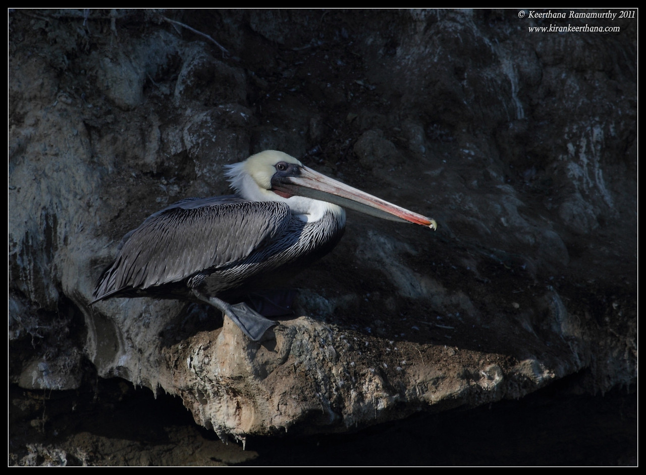 Brown Pelican, La Jolla Cove, San Diego County, California, October 2011