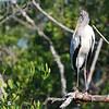 Wood Stork (Mycteria americana) Ding Darling NWR, FL