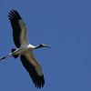 Wood Stork (Mycteria americana) Bear Island WMA, Green Pond SC