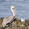 Brown Pelican (Pelecanus occidentalis) Aransas NWR, Rockport TX