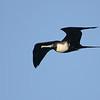 Magnificent Frigatebird (Fregata magnificens) Garden Key, Dry Tortugas NP, FL