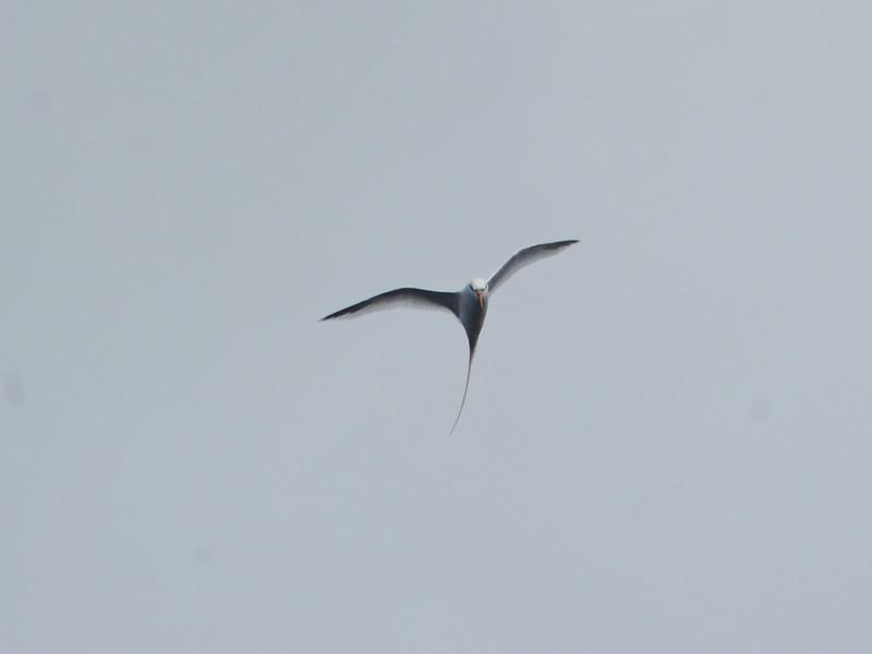 White-tailed Tropicbird (Phaethon lepturus) off  Cape Hatteras NC
