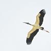 Wood Stork (Mycteria americana) Key Largo FL