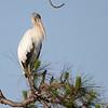Wood Stork (Mycteria americana) Everglades NP, FL