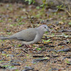 White-tipped Dove (Leptotila verreauxi) Sabal Palm Sanctuary, Brownsville TX