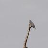 Band-tailed Pigeon (Patagioenas fasciata) Big Bear, CA