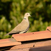 Eurasian Collared Dove  (Streptopelia decaocto) Mesa AZ