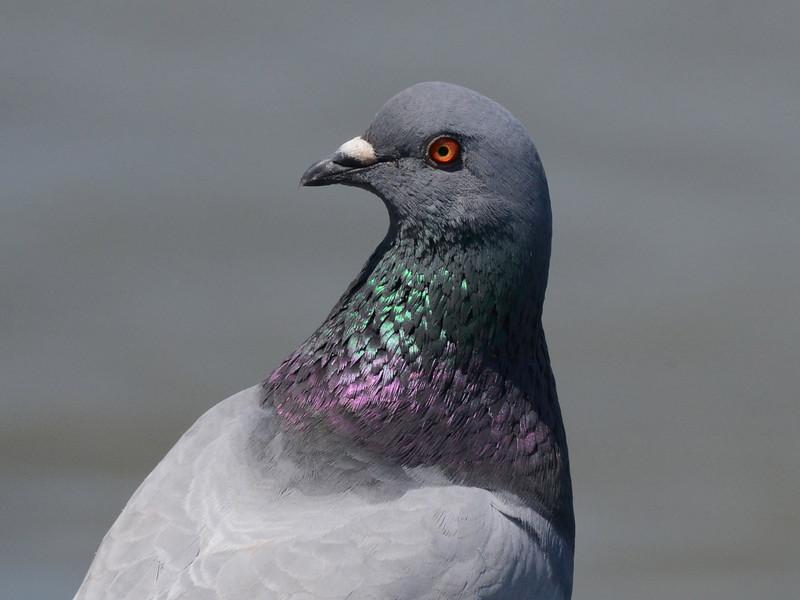 Rock Pigeon (Columba livia) Charleston SC