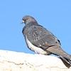 Rock Pigeon (Columba livia)  Scottsdale AZ