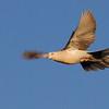 Eurasian Collared Dove (Streptopelia decaocto) Albuquerque NM, feral established