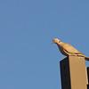 Eurasian Collared Dove (Streptopelia decaocto) Sante Fe, NM