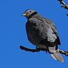 Band-tailed Pigeon (Patagioenas fasciata) Pike's Peak, CO