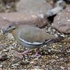 White-winged Dove (Zenaida asiatica) Davis Mountains SP, TX