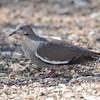 White-winged Dove (Zenaida asiatica) Christmas Mountain Oasis, Terlingua TX