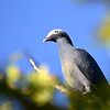 White-crowned Pigeon (Patagioenas leucocephala) Key West FL