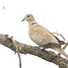 Eurasian Collared Dove (Streptopelia decaocto) Emmons Co. ND