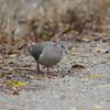 White-tipped Dove (Leptotila verreauxi) Santa Ana NWR, TX