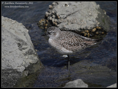 Black-bellied Plover sleeping, Robb Field, San Diego River, San Diego County, California, February 2012