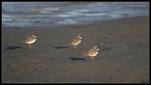 Semipalmated Plovers, Robb Field, San Diego River, San Diego County, California, August 2011