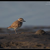Snowy Plover, Robb Field, San Diego River, San Diego County, California, July 2011