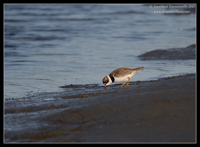 Semipalmated Plover, Robb Field, San Diego River, San Diego County, California, August 2011