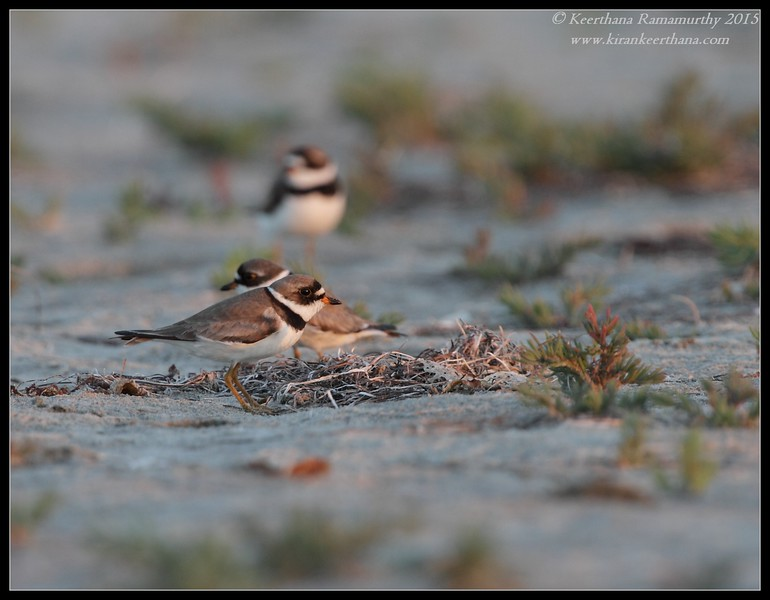 Semipalmated Plover, Robb Field, San Diego River, San Diego County, California, July 2015