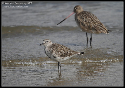 Black-bellied Plover with a marbled godwit in the background, Coronado Ferry Landing, San Diego County, California, February 2012