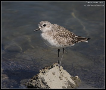 Black-bellied Plover, Robb Field, San Diego River, San Diego County, California, February 2012