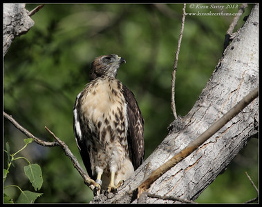Red-tailed Hawk, Covington Park, Morongo Valley, Riverside County, California, May 2013