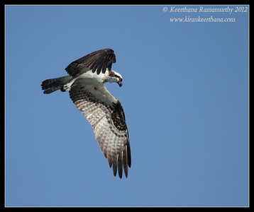 Osprey hovering and looking for fish, Robb Field, San Diego River, San Diego County, California, February 2012