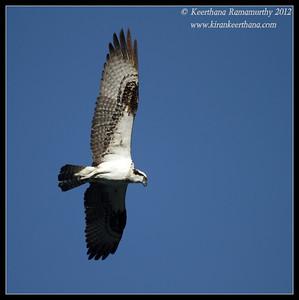 Osprey wing spread, Robb Field, San Diego River, San Diego County, California, February 2012
