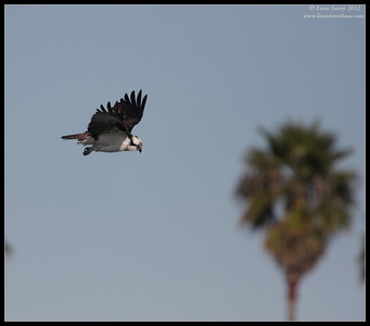 Osprey, Robb Field, San Diego River, San Diego County, California, February 2012