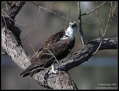 Osprey, Lake Jennings, San Diego County, California, January 2012