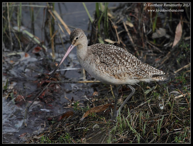 Marbled Godwit, Robb Field, San Diego River, San Diego County, California, February 2012