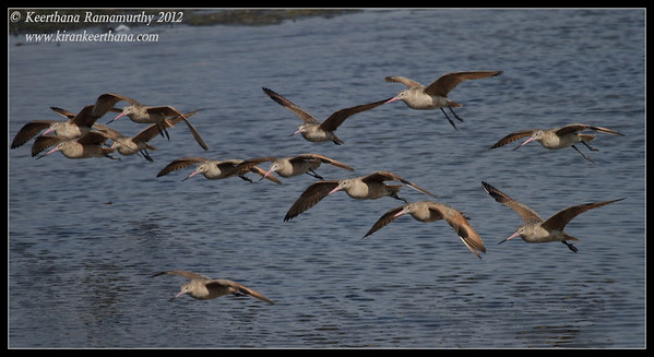 Marbled Godwits, Robb Field, San Diego River, San Diego County, California, February 2012