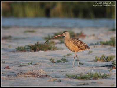 Long-billed Curlew at sunset, Robb Field, San Diego River, San Diego County, California, July 2015