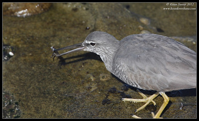 Wandering Tattler with a crab, La Jolla Cove, San Diego County, California, April 2012