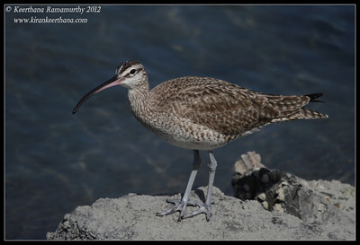 Whimbrel, Robb Field, San Diego River, San Diego County, California, February 2012