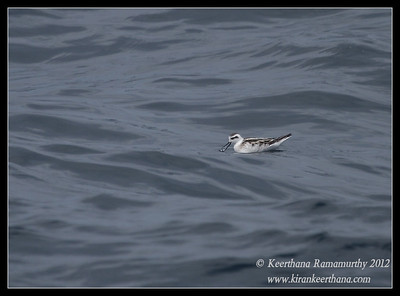 Red-necked Phalarope with catch, Whale Watching trip, San Diego County, California, September 2012