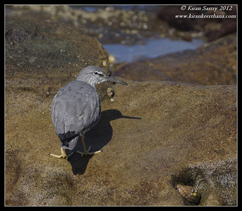 Wandering Tattler, La Jolla Cove, San Diego County, California, April 2012