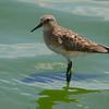 Baird's Sandpiper (Calidris bairdii) Seventh Day Adventist Wetland, Bismarck ND
