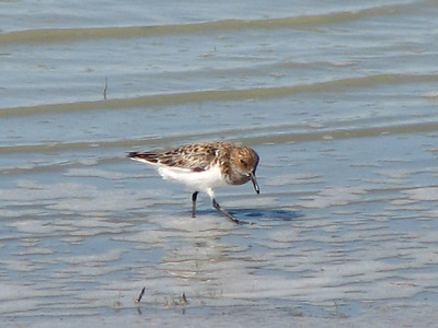 Calidris Sandpipers including Knot, Surfbird, Sanderling and Dunlin