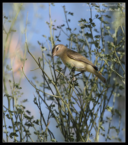 Warbling Vireo, near Anza Borrego Desert State Park visitor center, San Diego County, California, October 2011